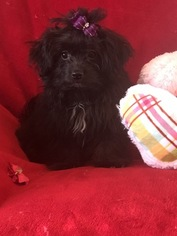 Maltese-Poodle (Toy) Mix Puppy for sale in SARASOTA, FL, USA