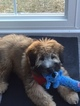 Soft Coated Wheaten Terrier Puppy For Sale in THOMASVILLE, NC, USA
