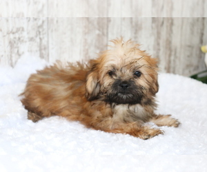 Shih-Poo Puppy for sale in SHILOH, OH, USA