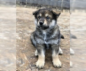 Wolf Hybrid Puppy for sale in CORYDON, IN, USA