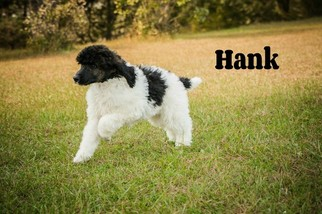 Poodle (Standard) Puppy For Sale in SAINT CLOUD, MN, USA