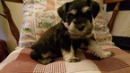 Schnauzer (Miniature) Puppy For Sale in BROKEN ARROW, OK