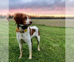 Brittany Puppy for Sale in HARTVILLE, Ohio USA