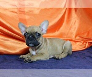 French Bulldog Dog for Adoption in PALO ALTO, California USA