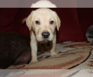Labrador Retriever Dog for Adoption in SARASOTA, Florida USA
