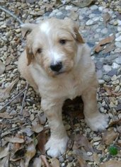 Labradoodle Puppy For Sale in SUGAR LAND, TX, USA