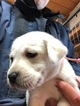Labrador Retriever Puppy For Sale near 78616, Dale, TX, USA