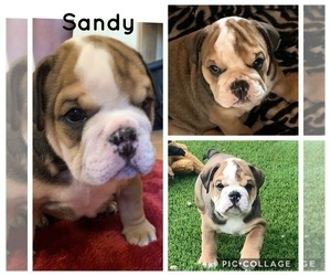 Bulldog Puppy for Sale in QUEEN CREEK, Arizona USA