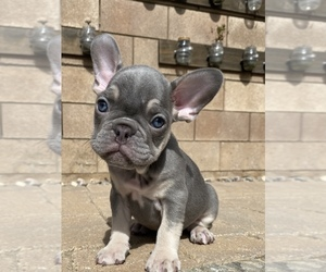 French Bulldog Puppy for sale in EASTVALE, CA, USA