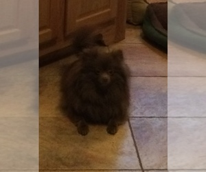 Mother of the Pomeranian puppies born on 03/16/2019