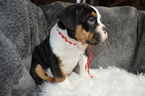 Olde English Bulldogge Puppy For Sale in BATH, Pennsylvania,