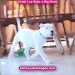 Small Photo #143 Dogo Argentino Puppy For Sale in PINEVILLE, MO, USA