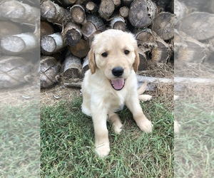 Golden Retriever Puppy for Sale in HOHENWALD, Tennessee USA