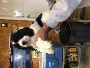 English Springer Spaniel Puppy For Sale in SHELLSBURG, IA