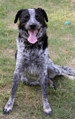 Cozmo - Cattle Dog Dog For Adoption