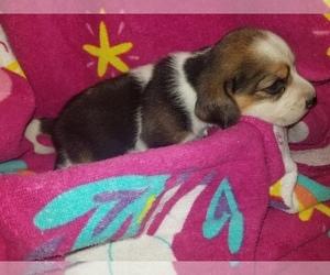 Beagle Puppy for Sale in REASNOR, Iowa USA