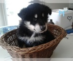 AKC ALASKAN MALAMUTE MALE BORN JUNE 6TH