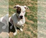 Small #573 American Pit Bull Terrier-Huskies  Mix