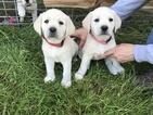 Labrador Retriever Puppy For Sale in PORT ANGELES, WA, USA