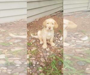 Labrador Retriever Puppy for sale in CADOTT, WI, USA