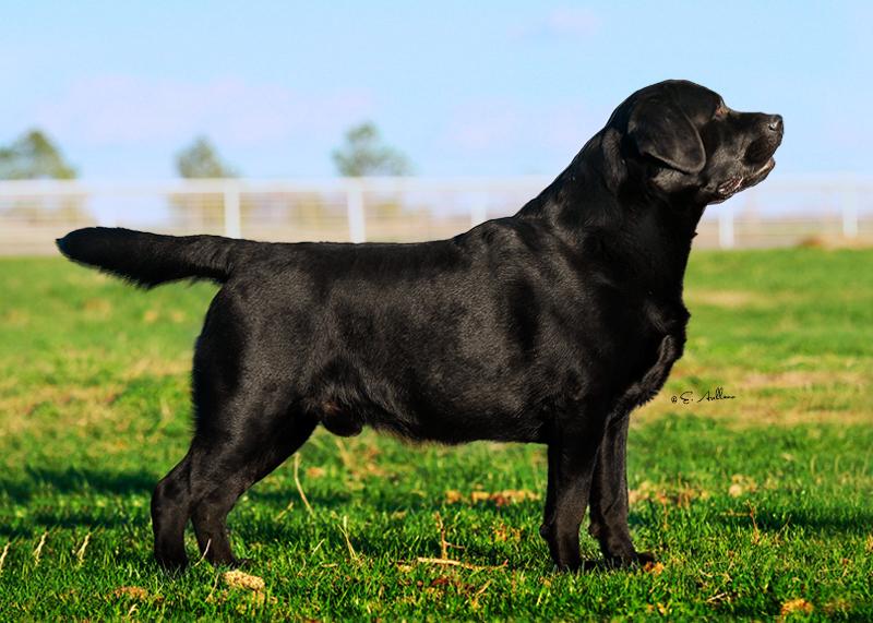 View Ad: Labrador Retriever Puppy for Sale, Texas