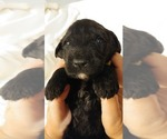 Small #13 Poodle (Miniature)-Soft Coated Wheaten Terrier Mix