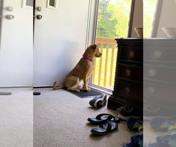 Medium Photo #5 Boxador Puppy For Sale in CLEVELAND, TN, USA