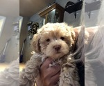 Puppy 2 Lhasa-Poo