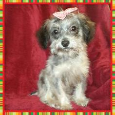 Yorkie-Poo Puppy For Sale in TAYLOR, TX