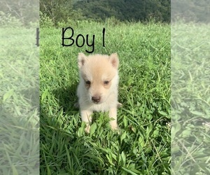 Siberian Husky Puppy for Sale in PALESTINE, West Virginia USA