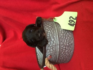 Bordoodle Puppy For Sale in ALBANY, TX