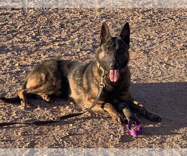 Medium Photo #4 Dutch Shepherd Dog Puppy For Sale in SIERRA VISTA, AZ, USA
