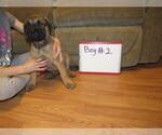 Small #7 Mastiff