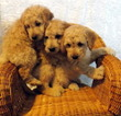 Goldendoodle (Miniature) Puppy For Sale in SHELBY TOWNSHIP, MI, USA