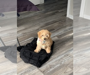 Poodle (Miniature) Puppy for sale in ARLINGTON, TX, USA