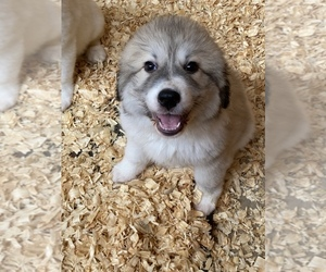 Great Pyrenees Puppy for sale in FLORAL CITY, FL, USA