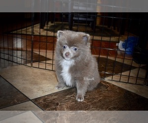 Puppies for Sale near Florence, Mississippi, USA, Page 1 (10