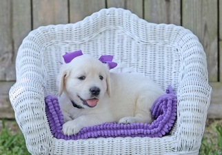 Golden Retriever Puppy For Sale in LA PORTE, TX