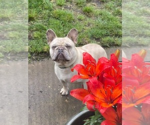 Father of the French Bulldog puppies born on 06/29/2021