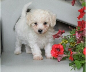 Poochon Puppy for Sale in FREDERICKSBG, Ohio USA