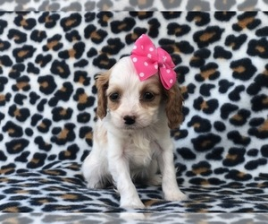 Cavapoo-Cockapoo Mix Puppy for sale in LAKELAND, FL, USA