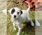 Puppy 6 Jack-A-Poo