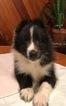 Shetland Sheepdog Puppy For Sale in EATON RAPIDS, MI