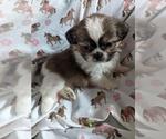 Puppy 7 Shih Tzu