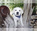 Small #11 Labrador Retriever