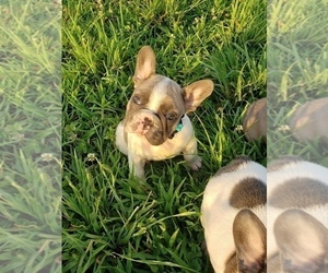 French Bulldog Puppy for Sale in ROCK ISLAND, Tennessee USA