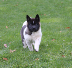 Registered Akita Puppies