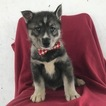 Siberian Husky Puppy For Sale in EAST EARL, Pennsylvania,