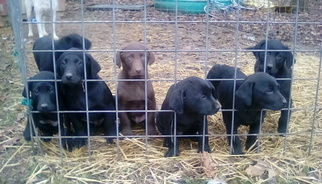 Labrador Retriever Puppy For Sale in GAMBIER, OH, USA
