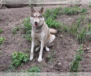 Mother of the Wolf Hybrid puppies born on 12/03/2020
